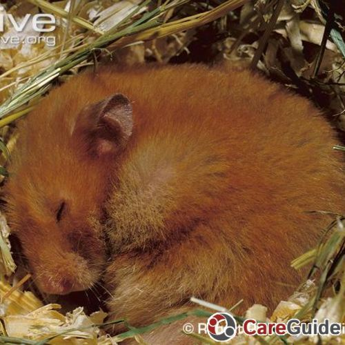 Golden-hamster-sleeping-in-nest