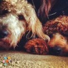 Seeking knowledgable and friendly dog sitter/trainer for two friendly Labradoodles!